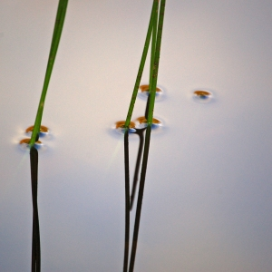 Bulrushes in water